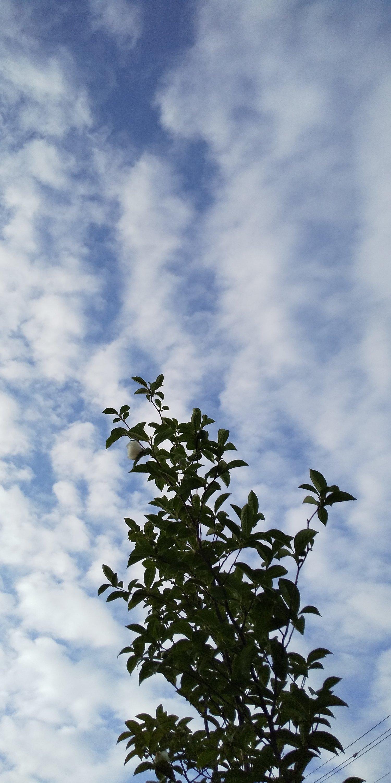 ぴーちぇすハウスの庭の夏つばき(沙羅の木)